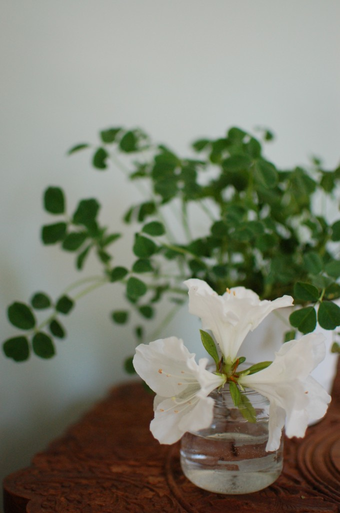 Azaleas and clover