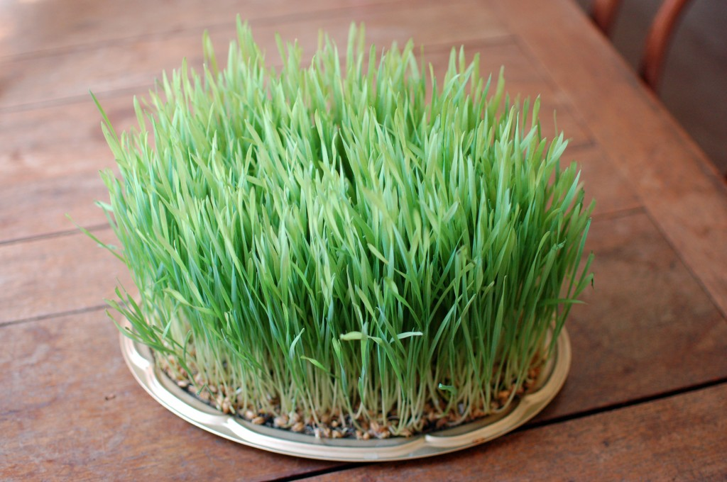 12-day-old Wheatgrass